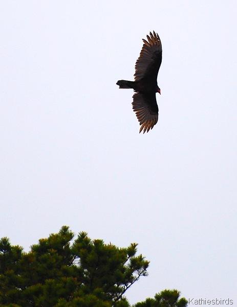 15. vulture-kab