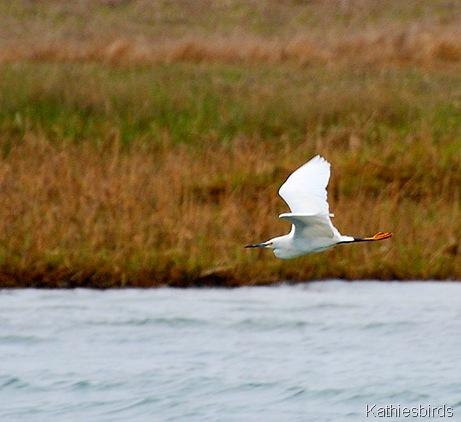 6. snowy egret-kab