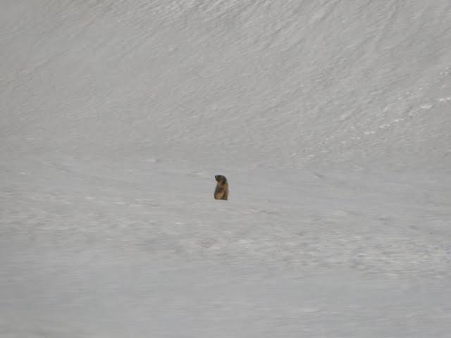 una marmota... ahora sí que ha llegado la primavera