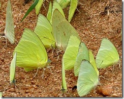 YellowButterflies-2