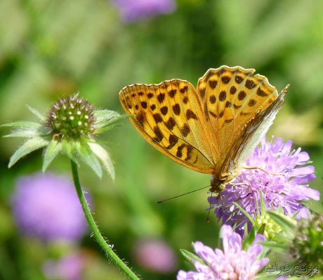 Butterfly - الفراشة