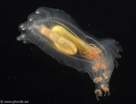 Sea Cucumber - خيار البحر