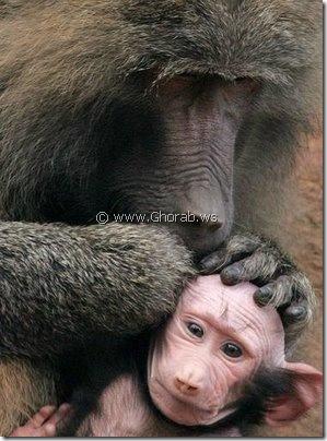 القرد اصلع