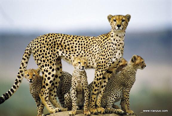 猛兽母子情 漂亮的一家子,看着孩子愈发英俊,母亲脸上蛮是自豪,豹子
