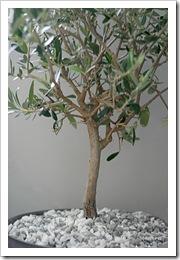 Olivträd1
