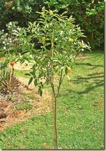 Kumkvat puu