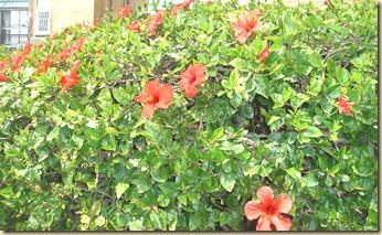 Kiinanruusut