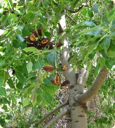 Puu  monta siemenkotaa