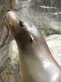 214 - Un león marino.JPG