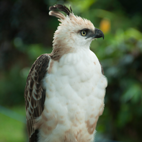 The Hawk! by Ceejae Chiu - Animals Birds ( cjc, hawk,  )