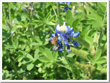 Bluebonnet with Bee