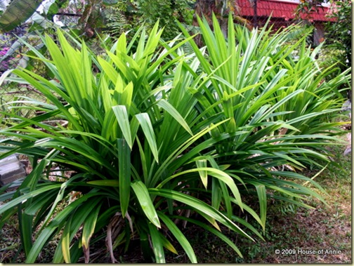 pandan growing in our yard
