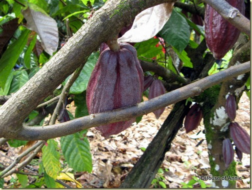 dark cacao pods