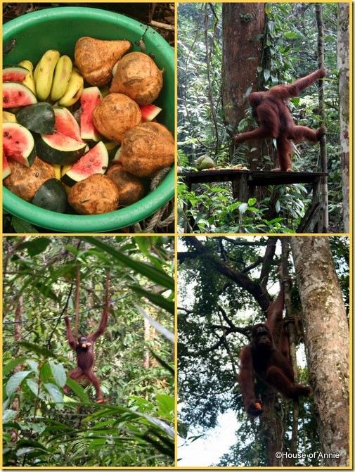 Semenggoh feeding orangutan