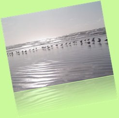 Aves migratorias na praia