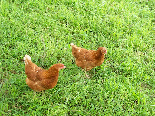 Craig and Martha's chickens