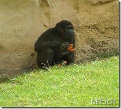 Bei den Gorillas war Fütterungszeit, und dieser Schlaumeier hat sich gleich ein paar Rüben gekrallt und sich an den Rand verzogen...