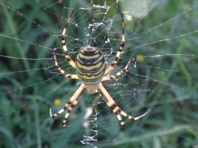 Araña tigre (Especie autoctona de Ajo)