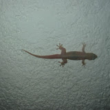 Gecko an der Küchendecke