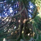 Mammut-Baum von innen