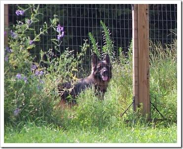 Teddy behind fence