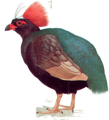 ROULROUL PARTRIDGE (male)