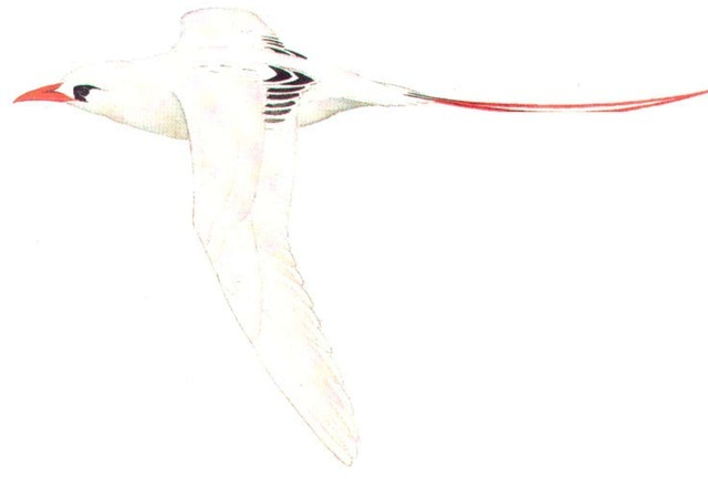 RED-TAILED TROPIC-BIRD