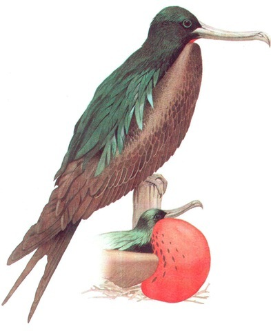 MAGNIFICENT FRIGATE-BIRD