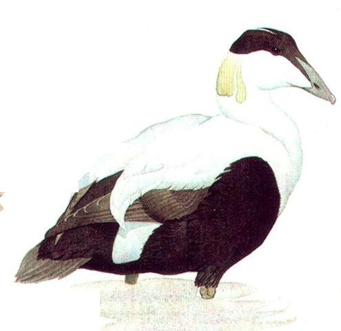 EIDER (male)