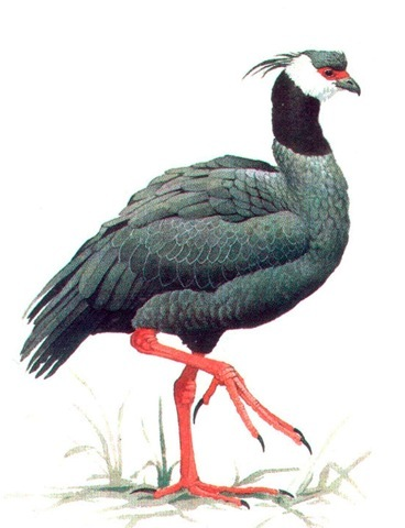 BLACK-NECKED SCREAMER