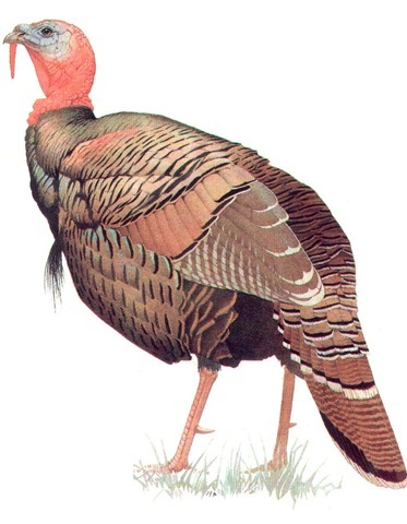 COMMON TURKEY