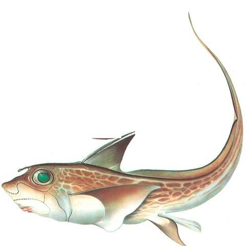 RAT-FISH