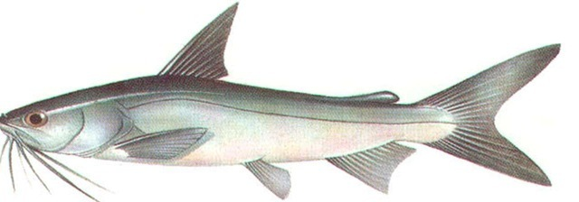 SEA CATFISH
