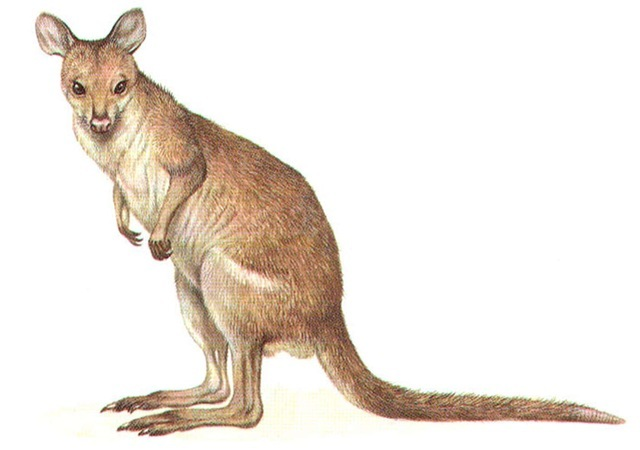 NEW GUINEA FOREST WALLABY