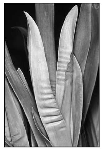 The pleated or puckered leaf of this miltonia orchid is a sign that the orchid is dehydrated.