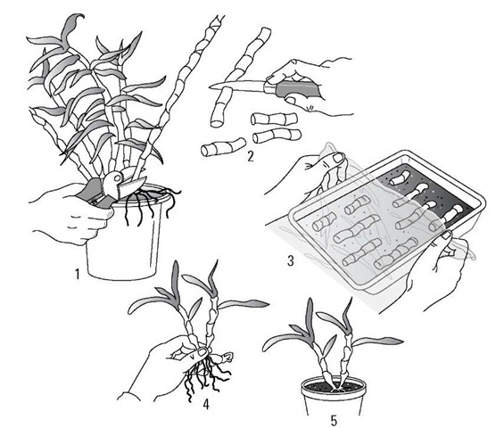 orchid stem propagation methods Techniques is a form of asexual or vegetative propagation that is, they result in  more of the same, genetically identical plant division as mentioned earlier in.