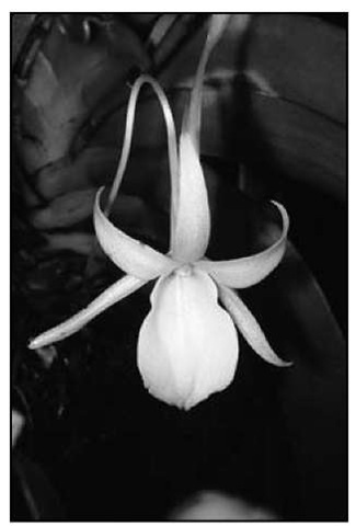 Angraecum leonis is a smaller grower that will fit anyone's growing space.