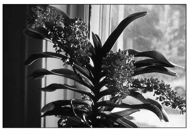 The foxtail orchid, Rhynchostylisgigantea,fills up an entire room with its citrus fragrance, and its pendulous flower spike in full bloom is a splendid sight.