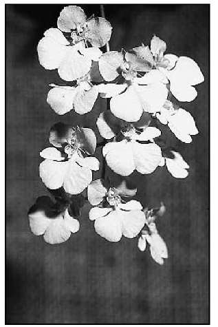 Oncidium onustum is a miniature grower with lemon yellow flowers.