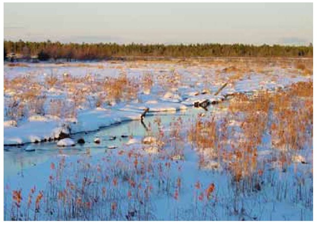 Woolgrass, Scirpus cyperinus, generally prefers moist, sunny environments, as in this view of a former cranberry bog at Whitesbog in the New Jersey Pine Barrens, on the last day of December.