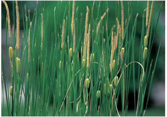 The narrow-leaved European cattail, Typha laxmannii, is one of the species having a sterile segment separating the female (lower) and male (upper) portions of the inflorescence. This feature is helpful in distinguishing various species.