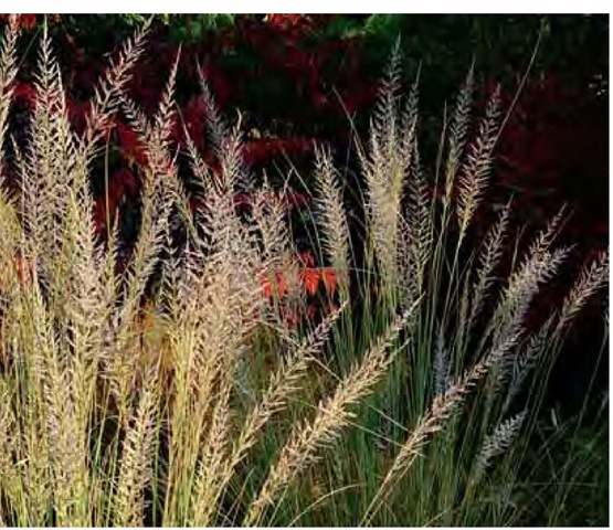 Spikelike inflorescences of Lind-heimer's muhly, Muhlenbergia lindheimeri, are set off by late-October sunlight and the dark red foliage of sumac, Rhus glabra 'La-ciniata', in the author's Pennsylvania garden.