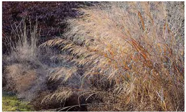 Switchgrass, Panicum virgatum 'Dallas Blues', and other grasses add their warm hues to a late-February day in the author's Pennsylvania garden. The color balance of this winter composition is similar to that of surrounding fields and woodland edges, and helps reinforce the garden's connection with them.
