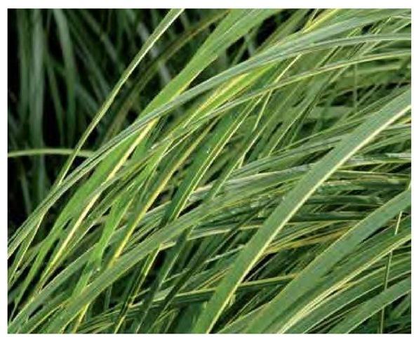 Graceful arcing lines are characteristic of cordgrass, Spartina pectinata 'Au-reomarginata'.