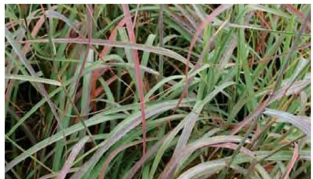 Light blue all summer long, the basal foliage of Andropogon 'Sanbi', a hybrid selection of A. gerardii and A. hallii marketed with the name Silver SunriseTM, is strongly tinted dark pink and purple in late October in North Carolina.