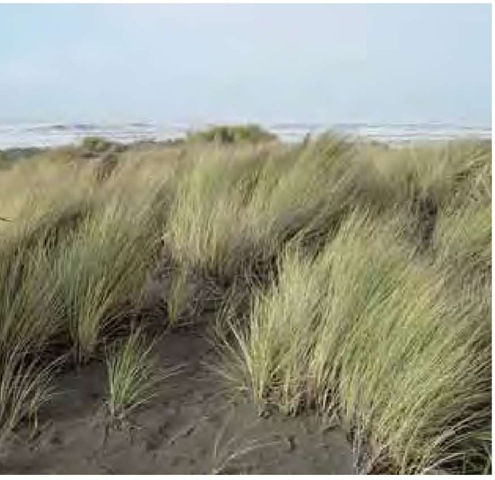 European dune grass, Ammophila arenaria, in mid December, planted for stabilization along the northern California coast.