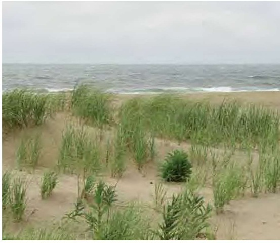 Plantings of American dune grass, Ammophila breviligulata, augment the naturally occurring population along the New Jersey coast, growing with seaside goldenrod, Solidago sempervirens, in mid July.