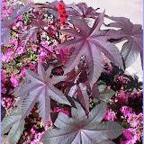 Ricinus communis ( Ricin) Plante toxique
