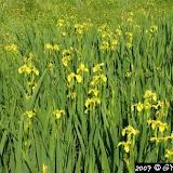 Iris pseudacorus (Iris des Marais)