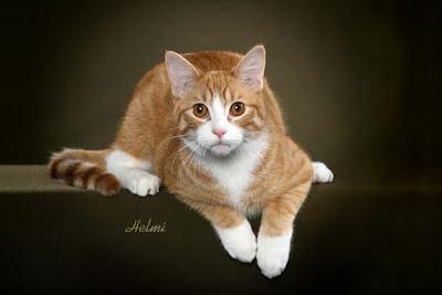 Moggie Cat Adrian